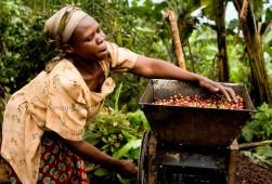 Raccolta del caffè in Uganda
